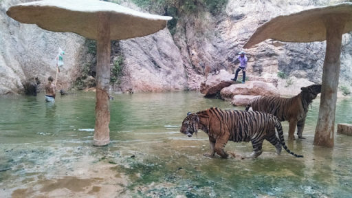 Kŕmenie tigríkov :)