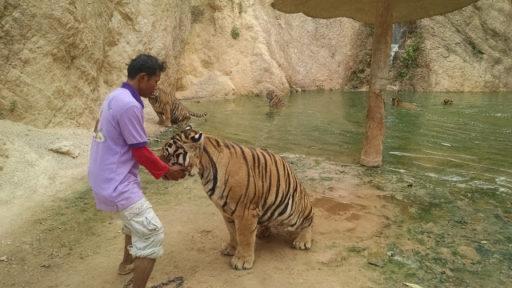 Ani som nedýchala a čakala čo sa bude diať, naštastie tiger bol kľudný