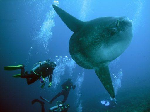 Bali Mola fish
