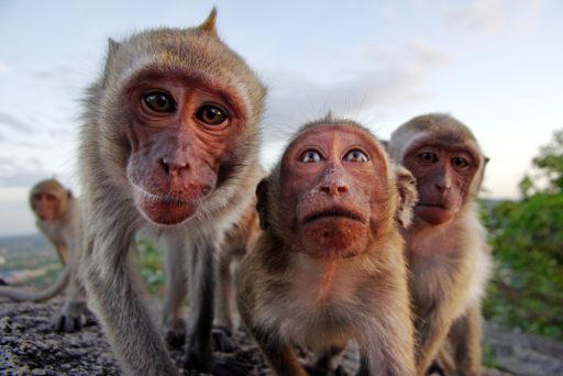 Opice v Monkey foreste Ubud